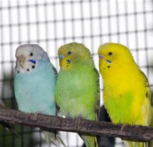 the budgie trio